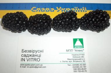 Sadzonki jeżyny, brzhezhina