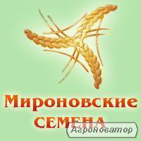 Nasiona gryki, krupinka