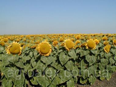 Nasiona słonecznika, atilla
