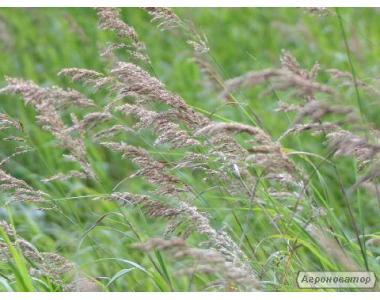 Nasiona stokłosy