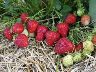 Rozsada truskawek, florens