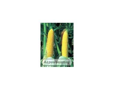 Nasiona kukurydzy, kukuruza Syngenta