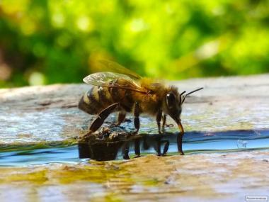 Pakiety pszczele  Ukraińska stepowa