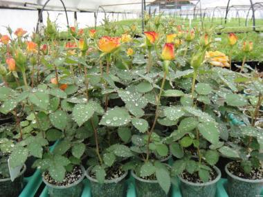 Sadzonki róży herbaciano-hybrydowej, abrakadabra