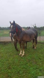 Konie ciężkie  Rosyjski koń zimnokrwisty