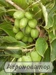 Sadzonki kiwi (aktinidii), kievskaya krupnoplodnaya
