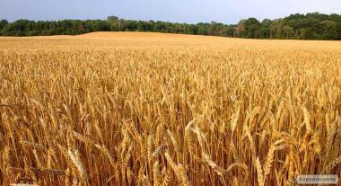 Nasiona pszenicy ozimej, bogdana