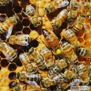Matki pszczele Carnica i Buckfast