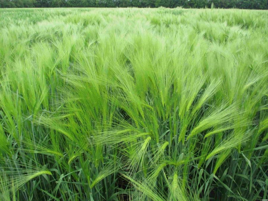 Nasiona jęczmienia ozimowego, seym