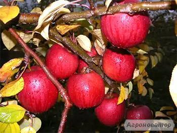 Sadzonki jabłoni, enterprayz