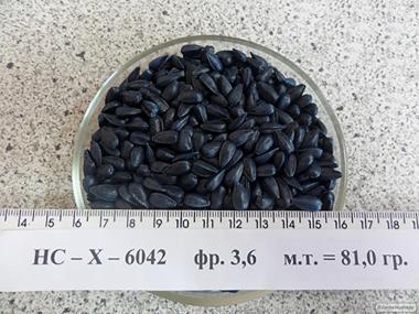 Nasiona słonecznika, gibrid ns-h-6044