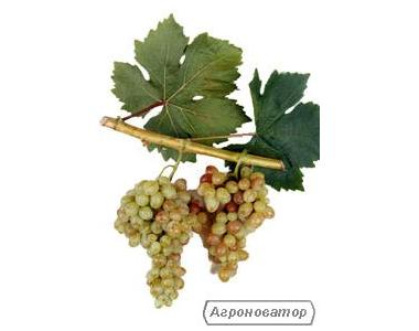 Sadzonki winogron, diaspory, liviya