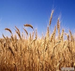 Nasiona pszenicy siewnej, aranka