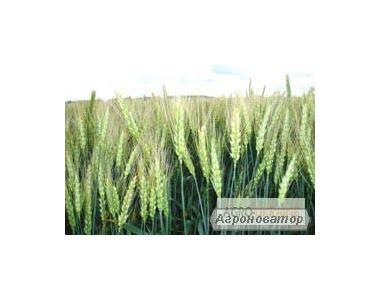 Nasiona pszenicy ozimej, zolotokolosaya