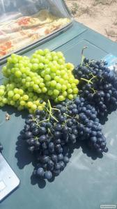 Deserowa odmiana winorośli kodryanka