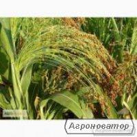 Nasiona sorgo, odesskiy 205