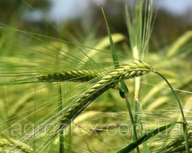 Nasiona jęczmienia siewnego, gelios