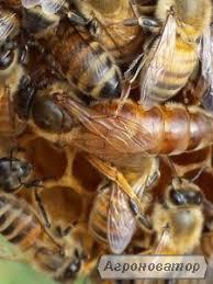 Matka pszczela  Włoska