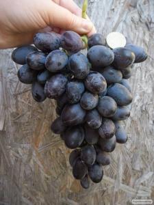 Deserowa odmiana winorośli kardinal