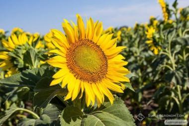 Nasiona słonecznika, karlos