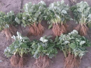 Rozsada truskawek, koroleva elizaveta (neytral)