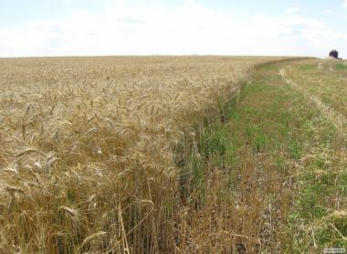 Nasiona pszenicy ozimej, stanislava