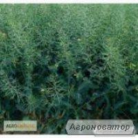 Nasiona rzepaku ozimego, gibridy Monsanto