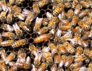 Pakiety pszczele  Buckfast