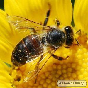 Matka pszczela  Ukraińska stepowa