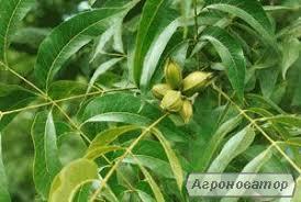 Olej roślinny z orzechu pekan