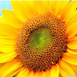 Nasiona słonecznika, bond
