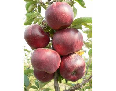 Sadzonki jabłoni, aydared