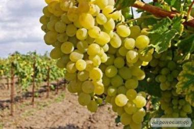 Deserowa odmiana winorośli arkadiya