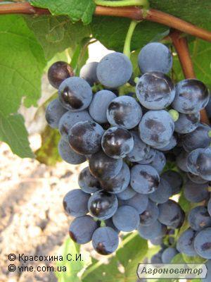 Przerobowa odmiana winorośli novak