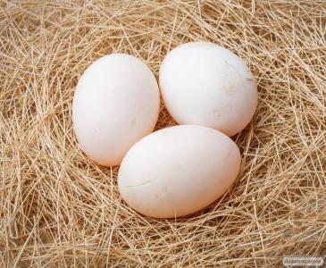 Jaja inkubacyjne kacze