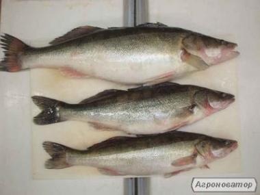 Ryby słodkowodne Sandacz