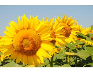 Nasiona słonecznika, yason