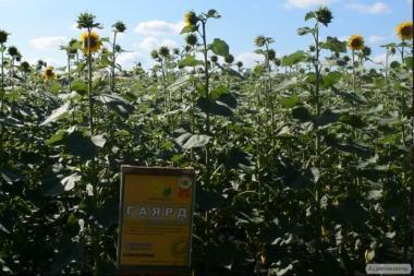 Nasiona słonecznika, gena
