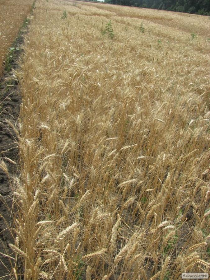 Nasiona pszenicy ozimej, nikoniya