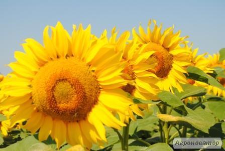 Nasiona słonecznika, gibrid drakon