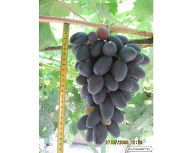 Sadzonki winogron, diaspory, blagovest