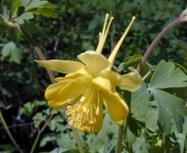 Orlik błękitny 'Yellow'