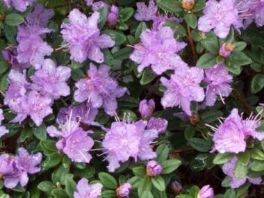 Rododendron 'Ramapo'