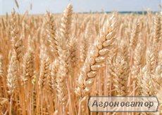 Nasiona pszenicy ozimej, balaton
