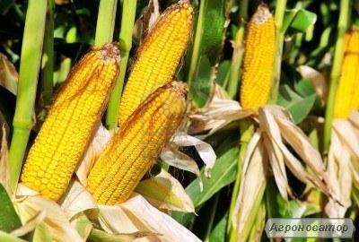 Nasiona kukurydzy, gibrid da sonka