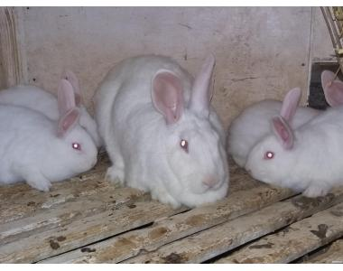 Króliki mięsnej rasy Pannon biały
