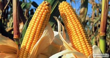 Kukurydza hybrydowa