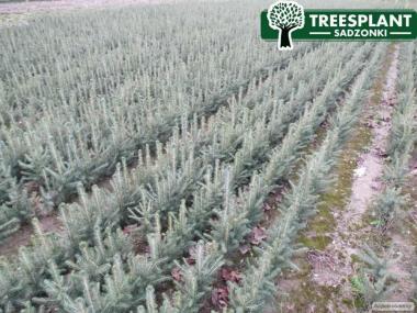 HURT Sadzonki Świerk Srebrny Kłujący KAIBAB na choinki Producent