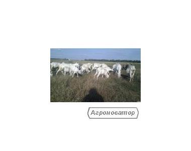 Kozy  Saaneńska