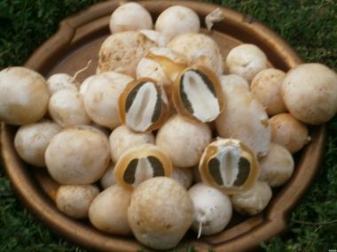 Świeże grzyby Sromotnik smrodliwy